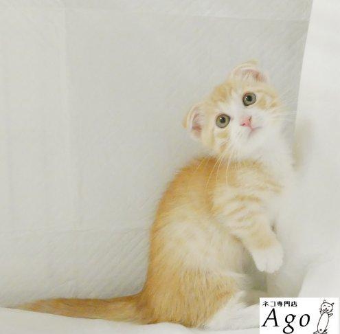 マンチカン \u2013 ページ 4 \u2013 アゴネコ専門店(公式)通常の子猫販売