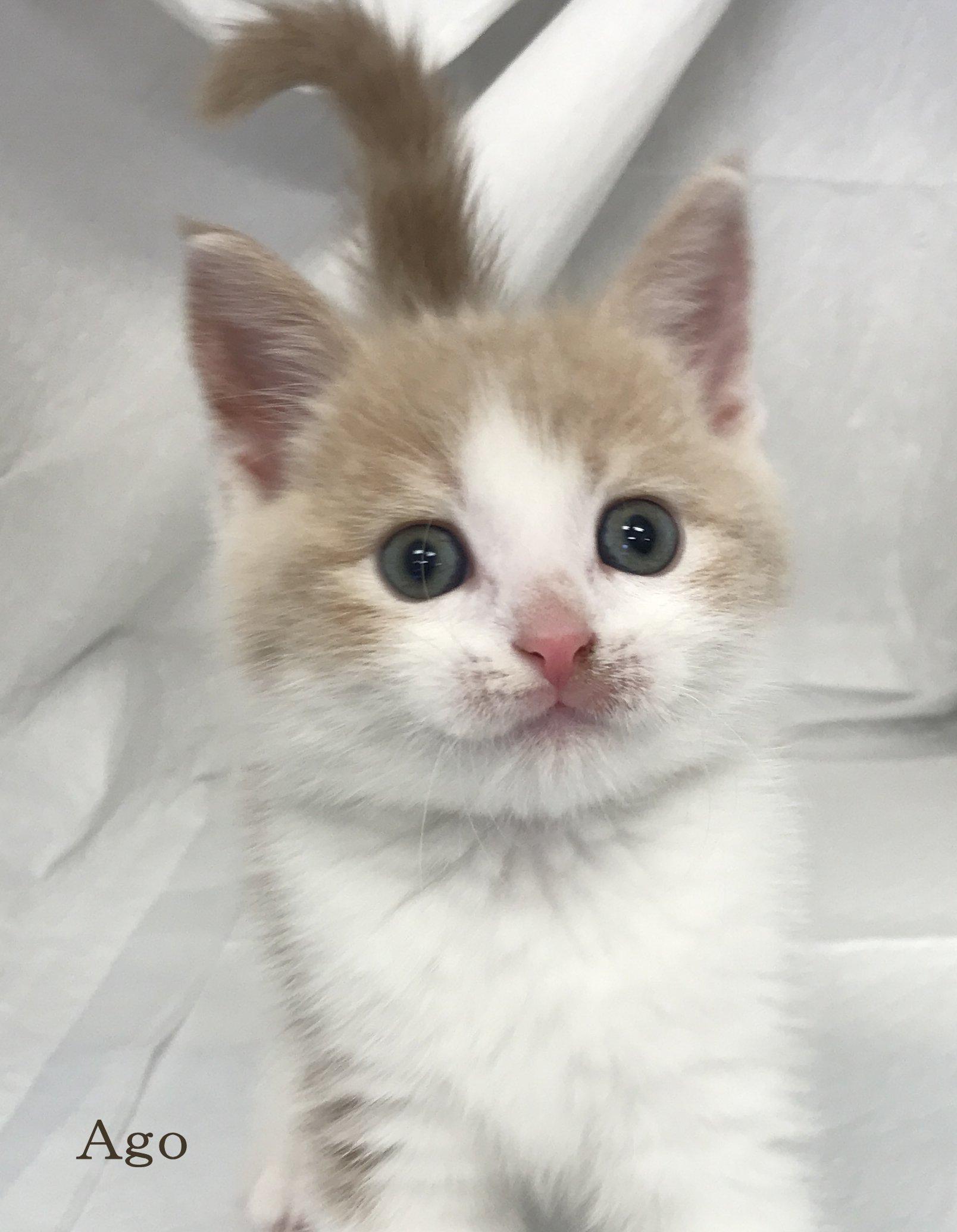 猫 マンチカン 保護 マンチカンとミヌエットってこんな猫